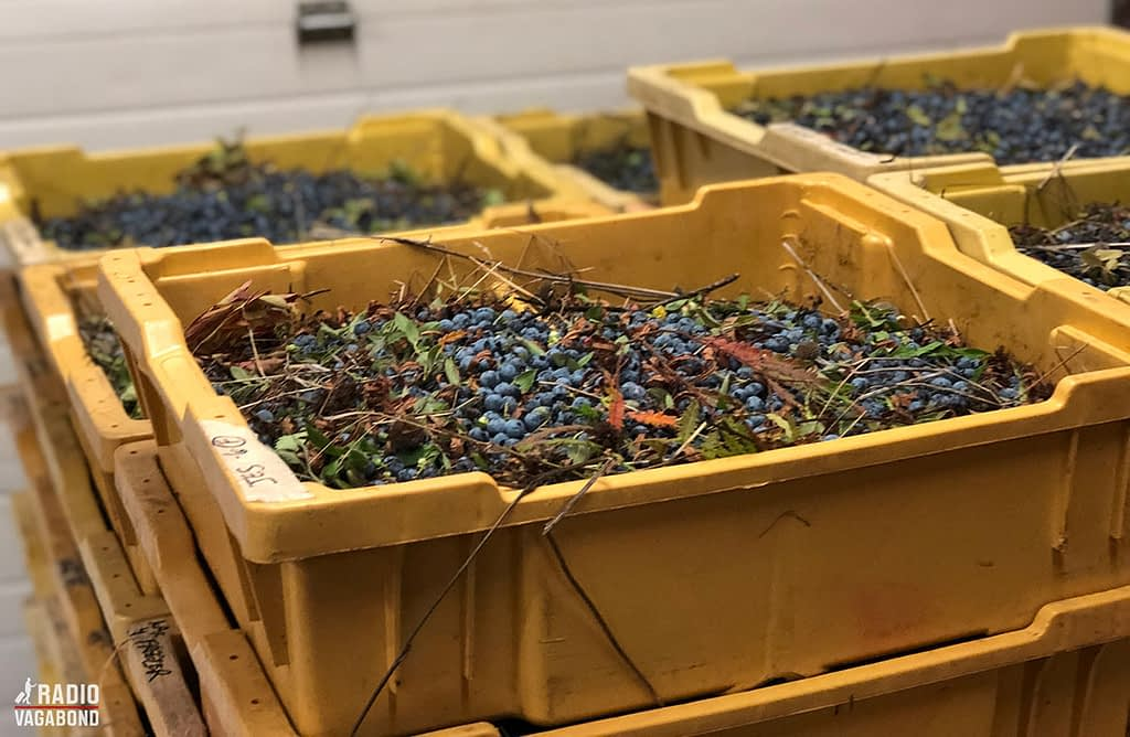 The blueberries comes in like this and needs to be sorted and cleaned up for leaves etc.