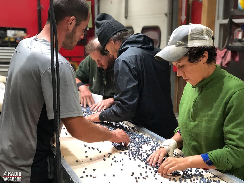 Sorting the good berries from the bad.
